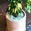 Thumbnail: Potted Ctenanthe
