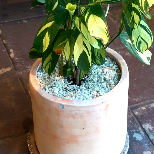 Potted Ctenanthe