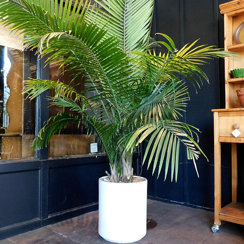 Majestic Palm Potted