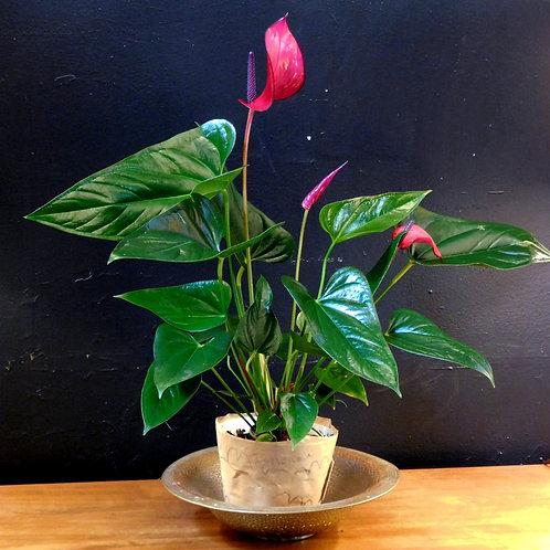 Anthurium Rouge