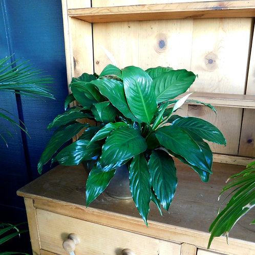 Small Spathiphyllum Sensation