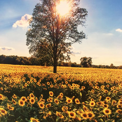 sunflowers for days in howell
