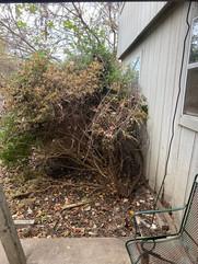 Overgrown shrubbery