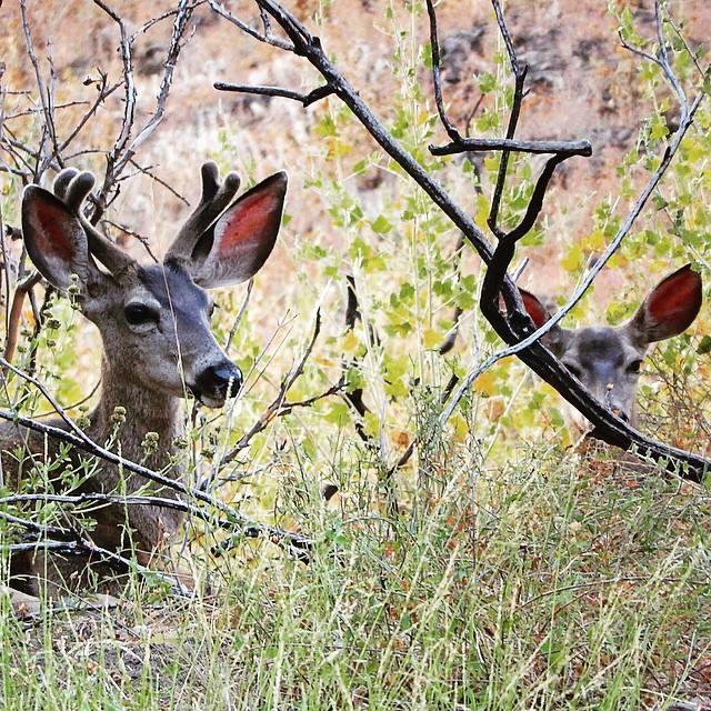 Resting Deer - Camarillo, CA