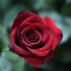 """""""There is simply the rose; it is perfect"""