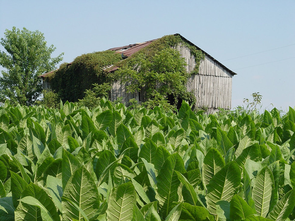 tobacco-field-1394271.jpg