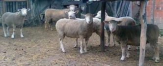 il de frans ovce, umatičene, ile de france ovce,ovce il de frans, ovce, Umatičena priplodna jagnjad