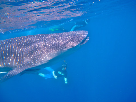 Swimming with Whale Sharks in Liloan