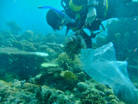 Crown of Thorns extraction on reef in the Philippines