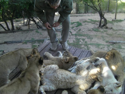 Lion cub caretaking in South Africa