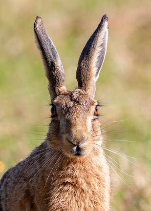 Hare-1.jpg