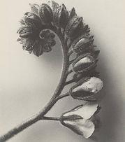 foam-editions-karl-blossfeldt-heliotrope