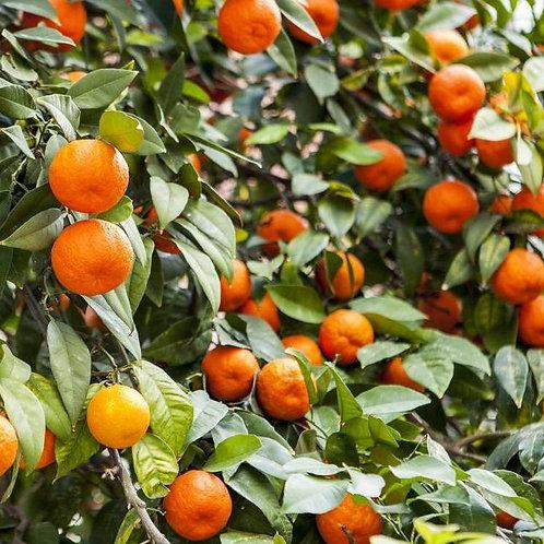 Seville Oranges for marmalade - per kg