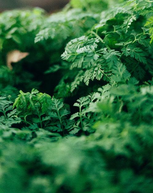 Chervil - fresh herbs per bag