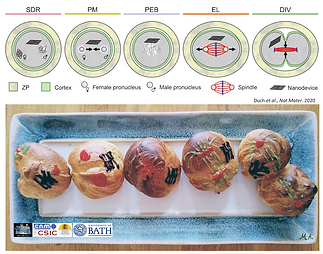 Profiteroles cell cycle .png