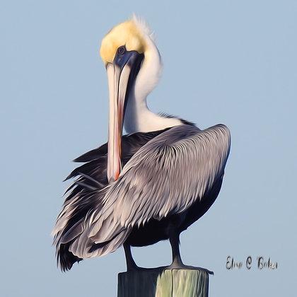 Brown Pelican Grooming