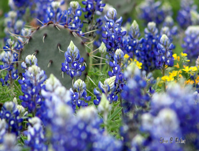Prickly Pear/Bluebonnets