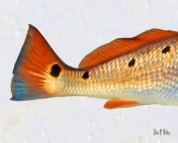 Redfish 3 Spots