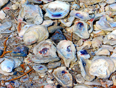 Oyster Shells