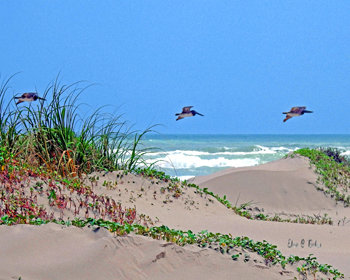 Dune, Surf and Pelicans