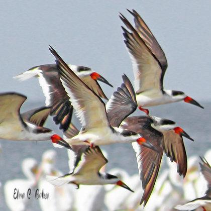 Black Skimmer - White Pelicans