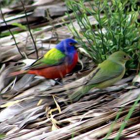 Painted Bunting - Male and Female