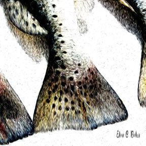 Speckled Trout Tail