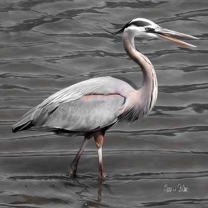 Wading Great Blue