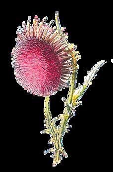 kisspng-familiar-wild-flowers-thistle-wi
