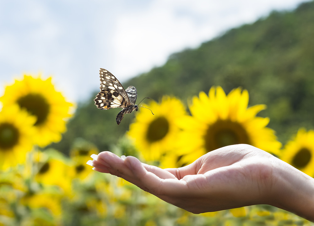Field of sunflowers with a butterfly landing in a hand.