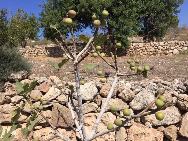 Bountiful fig tree found near a spring in Zichron Yaacov
