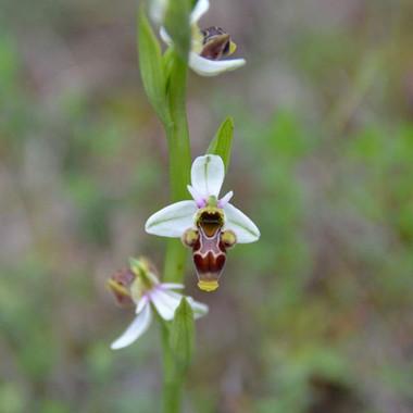 Oprhys scolopax Tiempo de #orquídeas en