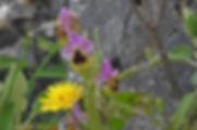 DSCN2289_Ophyrs-tenthredinifera.ficalhoa
