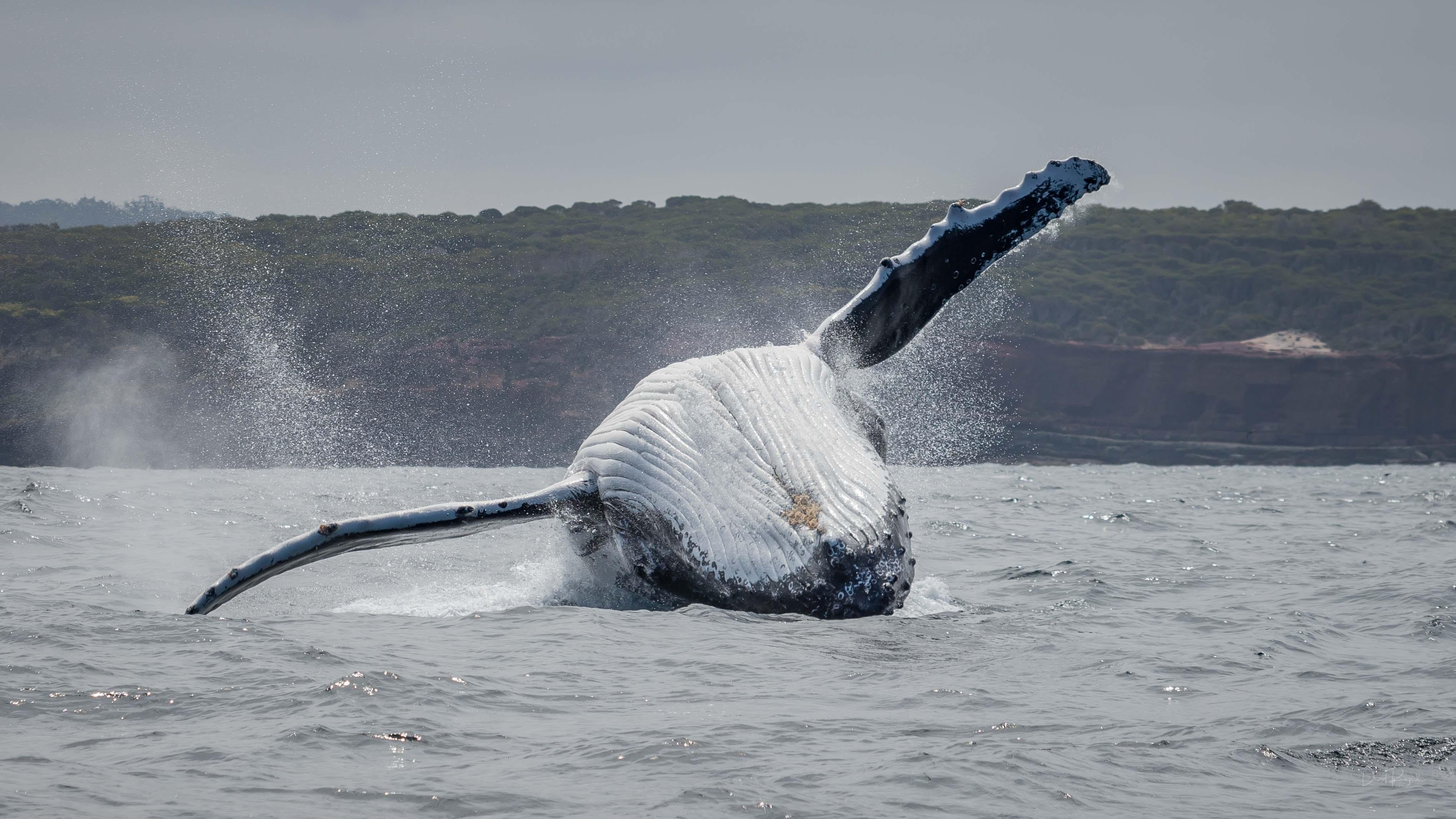 sapphirecoast_whales_davidrogersphotogra