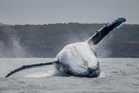 Humback Whale Breach, Merimbula Marina