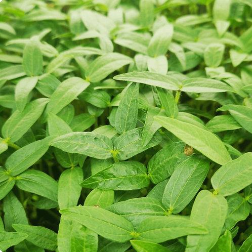 Mung Bean Microgreens
