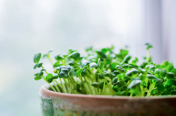 growing-microgreens-in-pot-on-white-background-royalty-free-image-670819210-1534972678.jpg