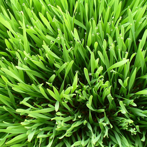 WheatGrass Microgreens