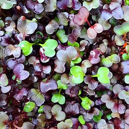 Radish Sango Microgreens