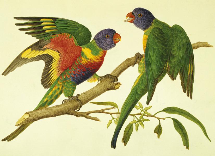 Rainbow Lorikeets, © Natural History Museum, London