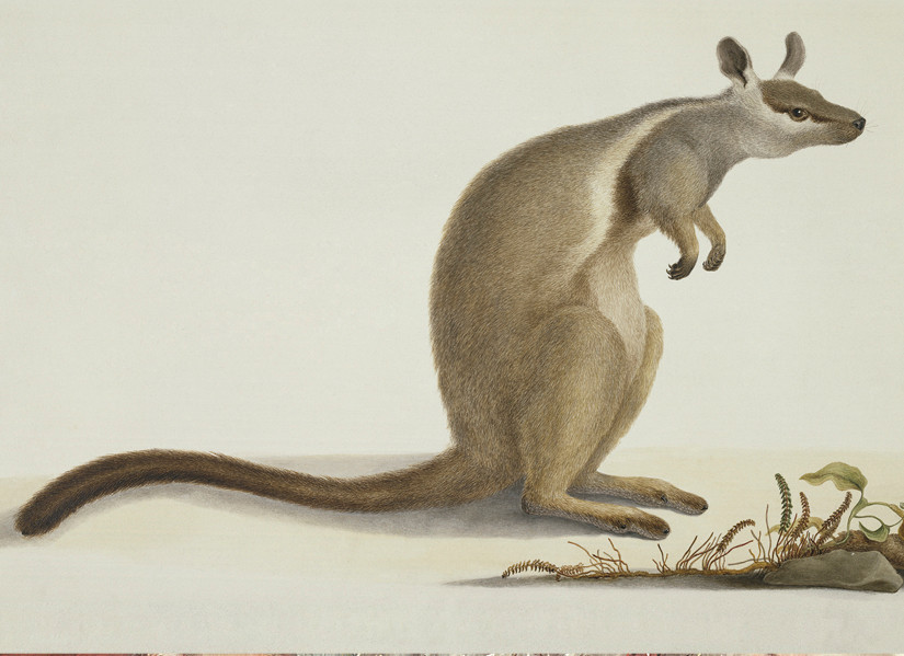Bauer Kangaroo, © Natural History Museum, London`