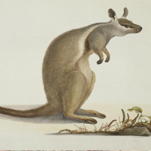 Bauer Kangaroo, © Natural History Museum, London`