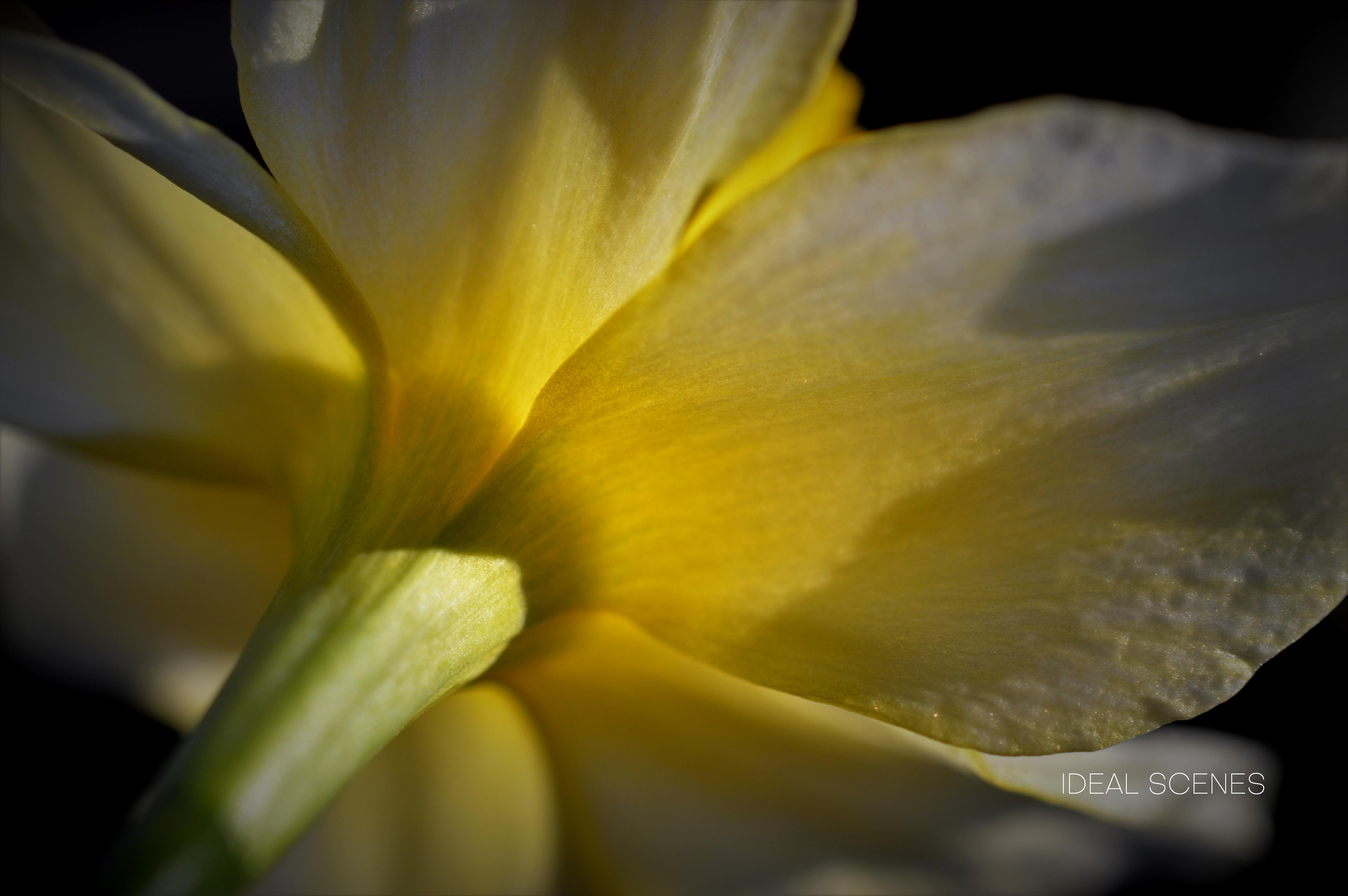 Daffodil Back