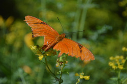Orange Butteryfly 1
