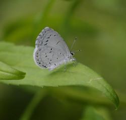 Little White Moth