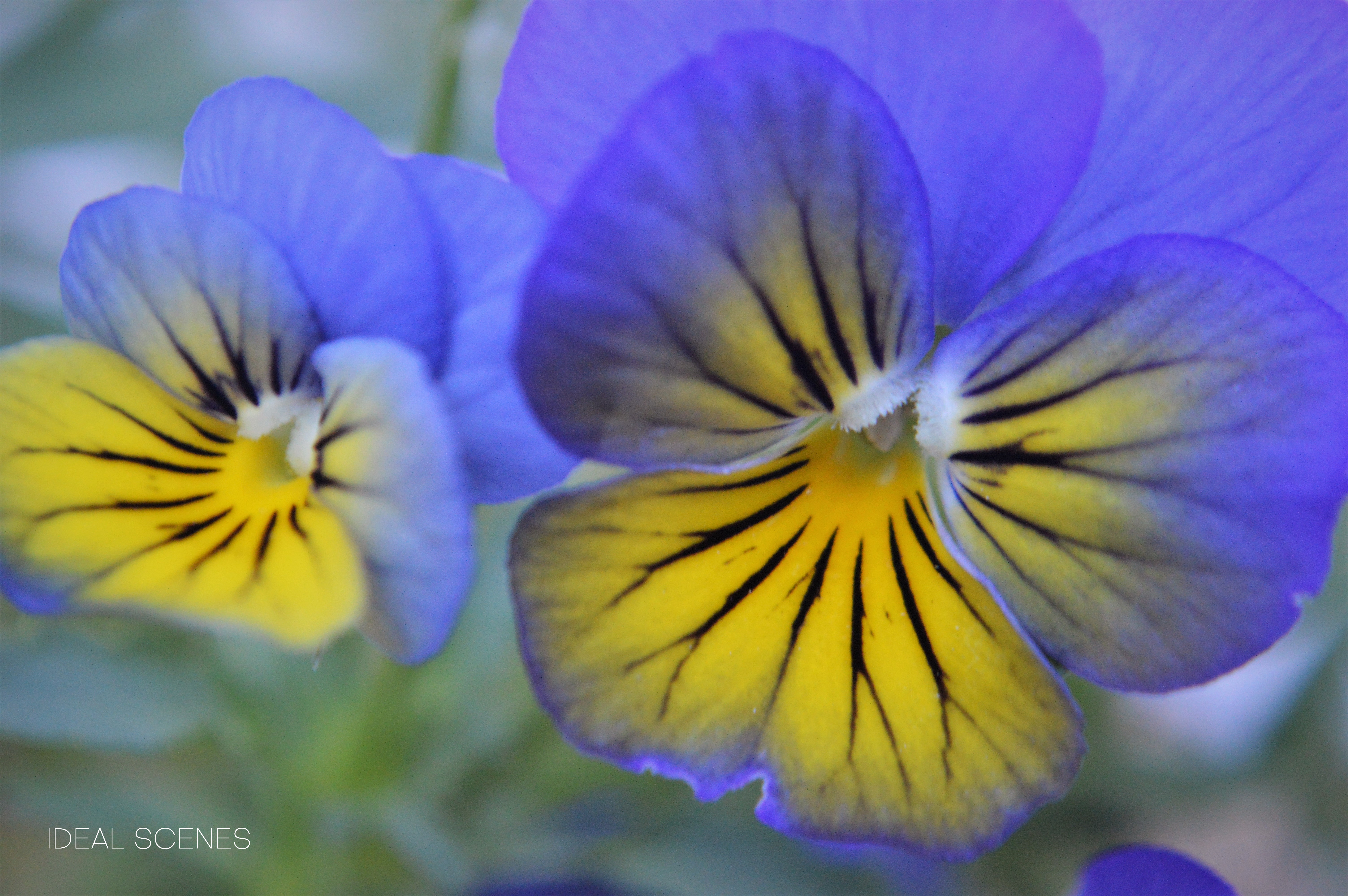 Two Pansies