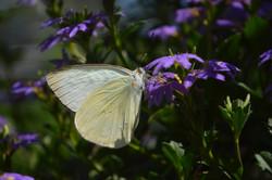 White Moth 1