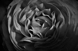 BW Ranunculus