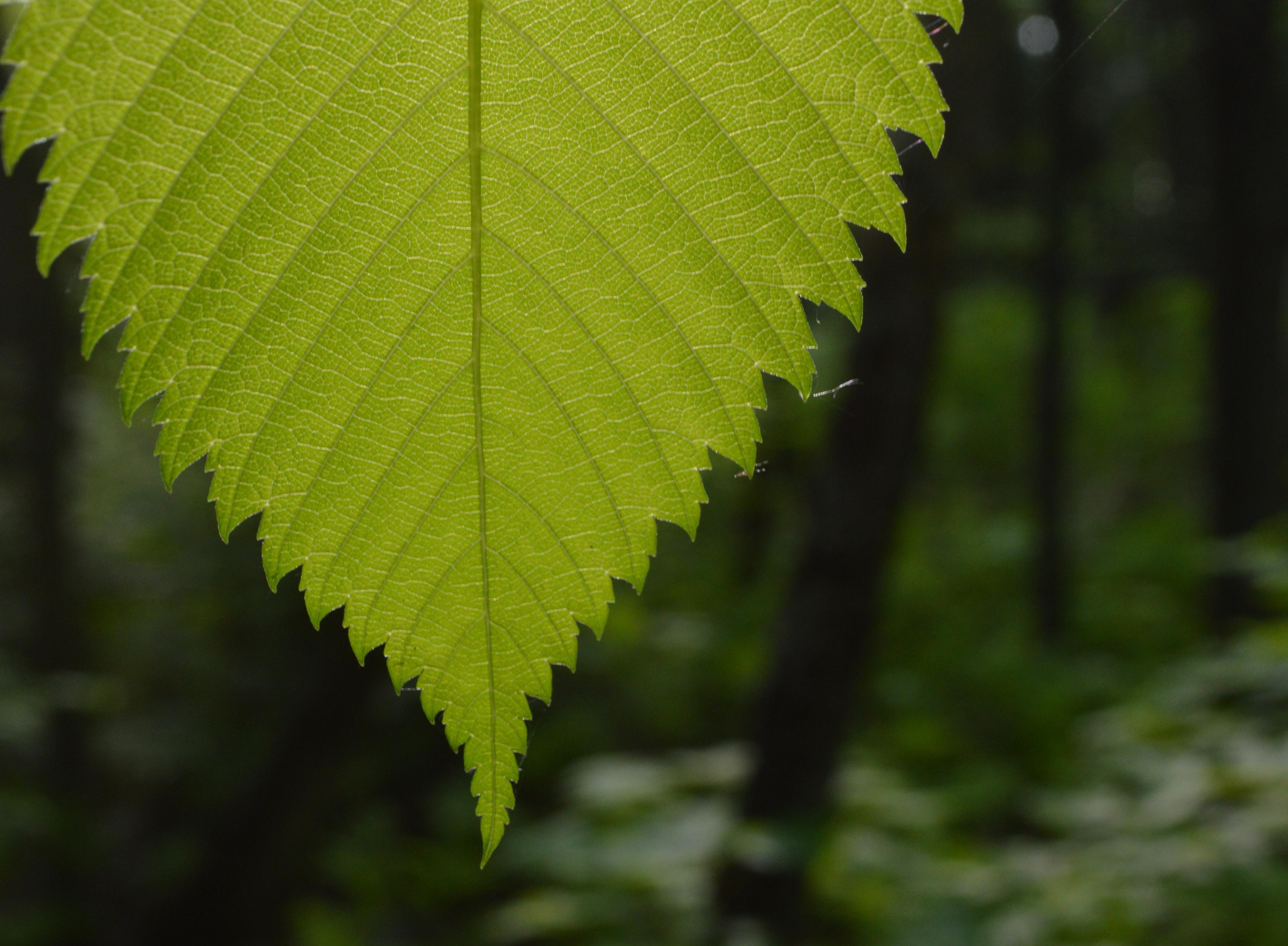 Geen Leaf