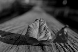 Leaf On Rail BW